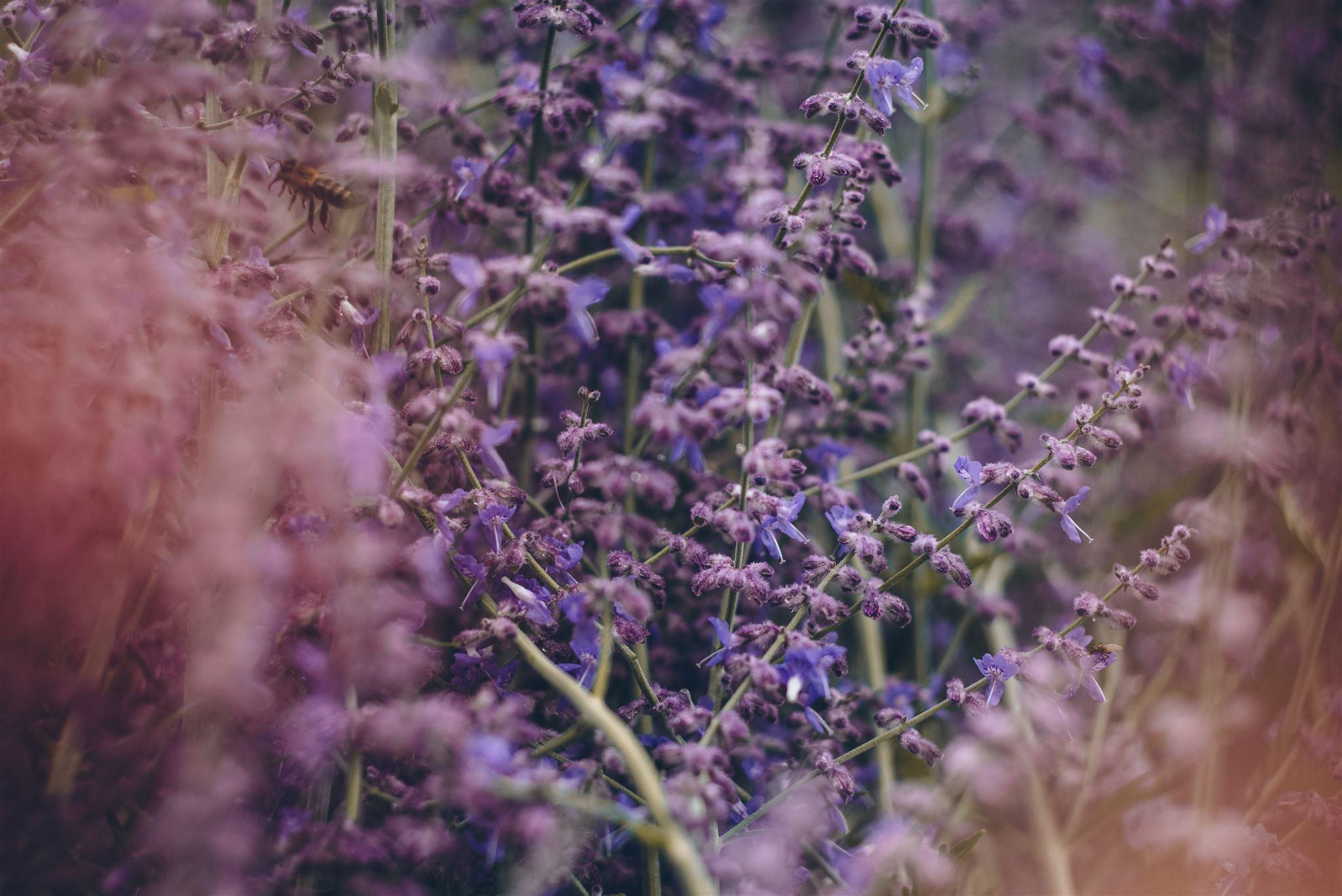 Marillen-Galette mit Lavendel